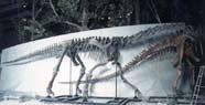 Image of Camarasaurus