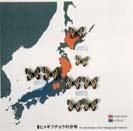 Image of Small gifu butterfly (Luehdorfia puziloi inexpecta)